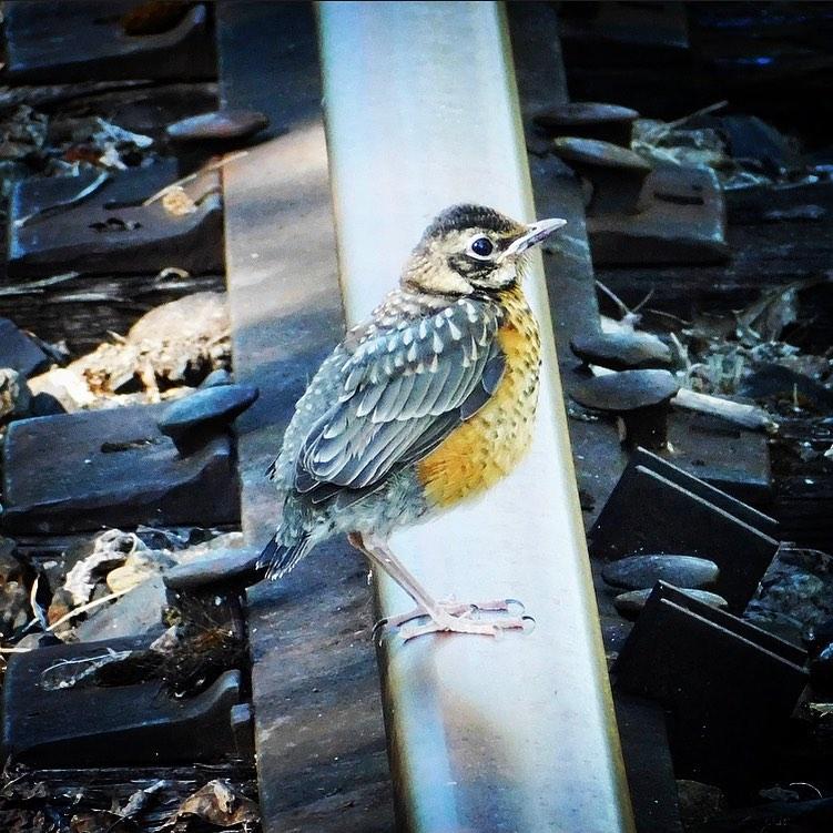 Juvenile American robin on the rails