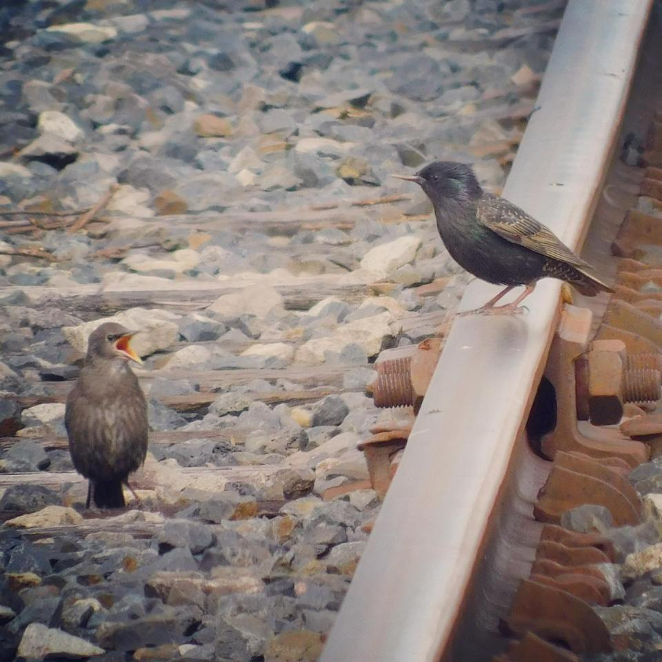 """This appears to be a teenager European starling telling the parent to """"stop controlling my life."""""""