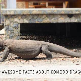 10 Awesome Facts About Komodo Dragons
