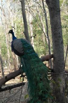 ~peacock @ Burung Merak...