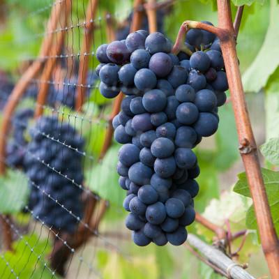 Pinot Noir Grapes at Elk Cove Vineyards