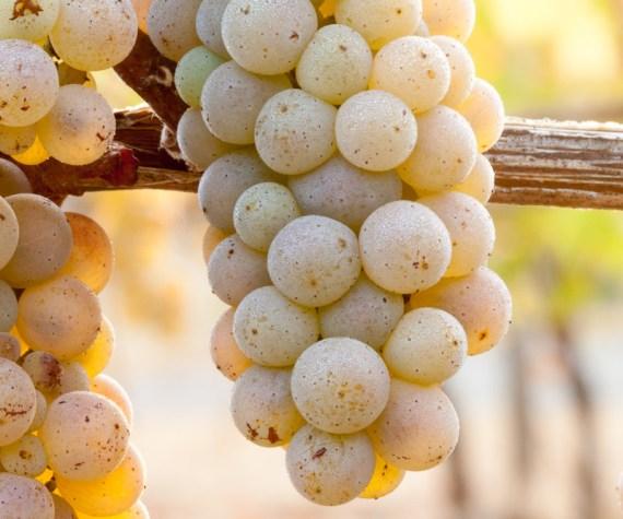 pinot blanc grapes