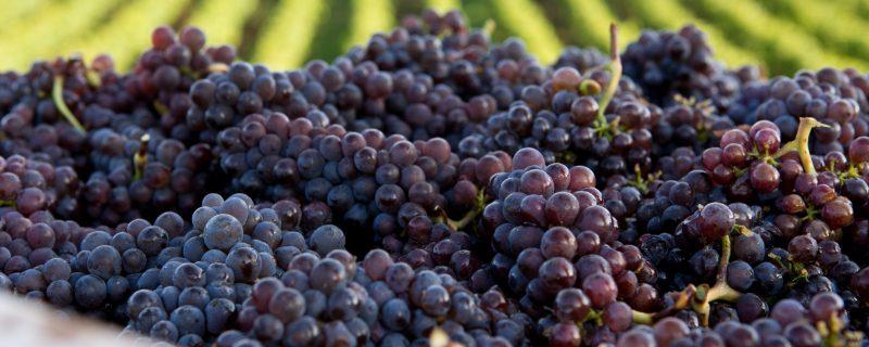 Pinot Gris Fruit