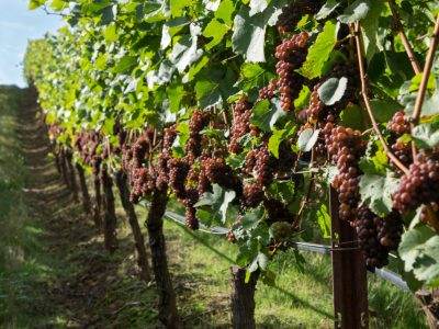 ripe Pinot Gris on the vine