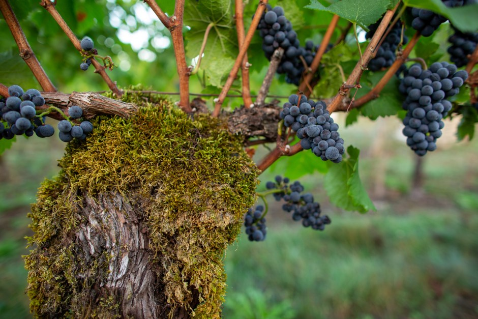 old Pinot Noir vine