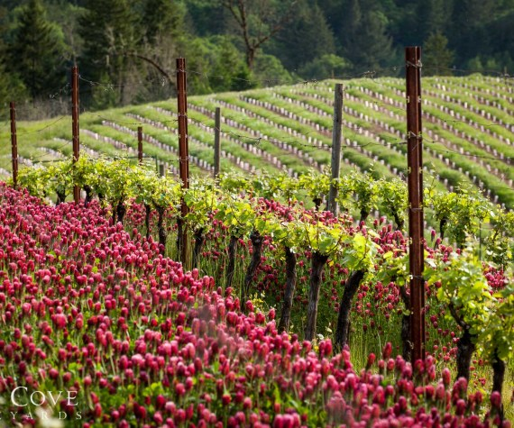 Roosevelt Vineyard in the springtime