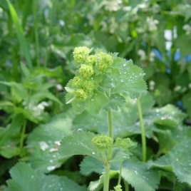 Lady's Mantle CO Dried Tincture