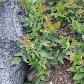 Oregon Grape Tincture