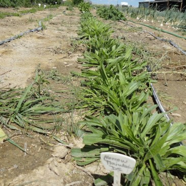 Plantain, Narrow leaf CO Tincture