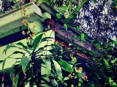 Dracaena -Happy Plant- spikes