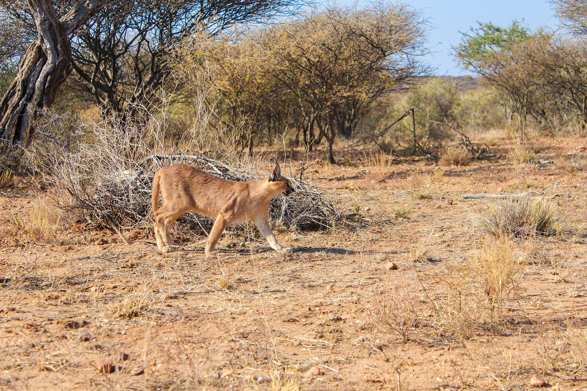 Caracal Walk at Naankuse Wildlife Sanctuary Namibia