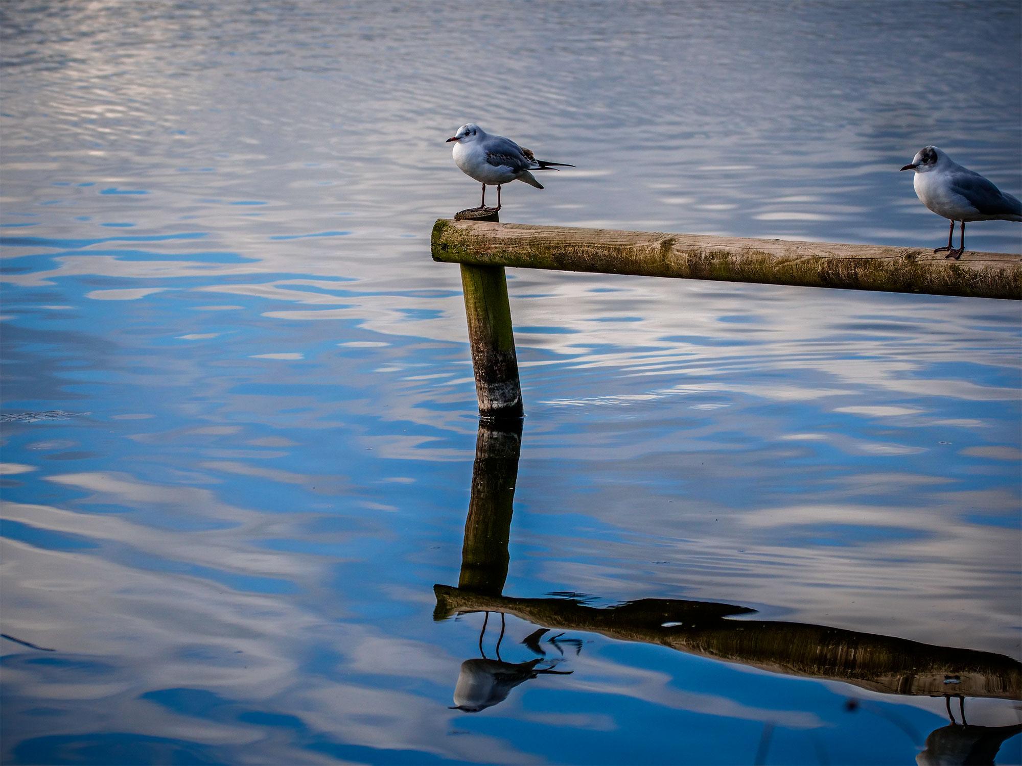 Seagull in Tatton Park, UK