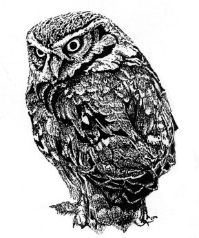 Little Owl (c) Ella Johnston Private Commission