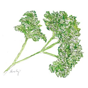 Parsley (c) Ella Johnston, watercolour and ink. Homemaker Magazine commission