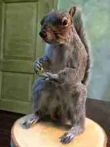 De grijze eekhoorn opgezet, taxidermy