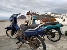 One of the many cats roaming Santorini