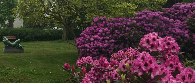 Blomstrende rhododendron i Øregårdsparken i Hellerup