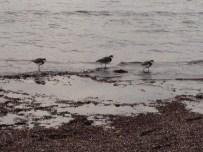 phillip island - sea birds