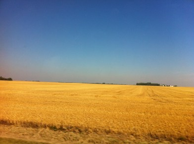 Wheat and canola fields like this one near Flatbush were being harvested all through the weekend.