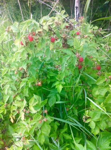 Raspberries aren't quite ripe
