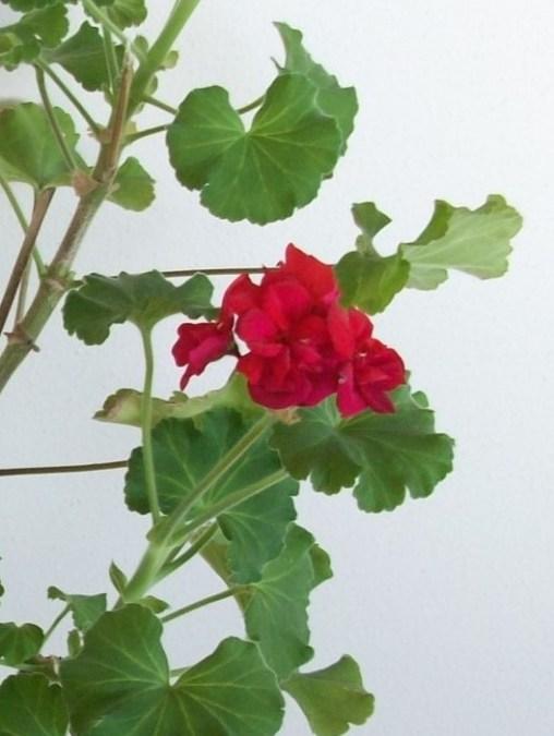 geranium-4
