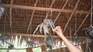 Living coconut crabs, ready for diner