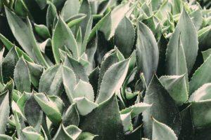 plante-aloes-vera