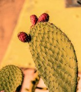 Prickly Pear