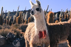Two-headed llama