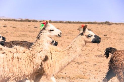 Llamas in transit