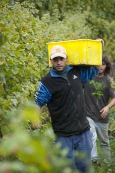 Germanier harvest Saillon picker13_151013