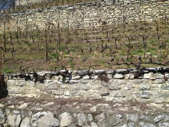 miege_walls_vines_pruning_310313_sm