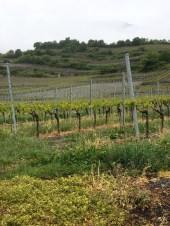 vineyards Salgesch Valais4_020515
