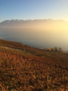 Vineyards in Lavaux 2 December 2015 - Epesses, where growers have decided as a group to go the organic route