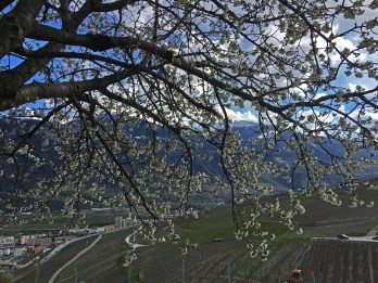 spring fruit trees vines Valais_110416