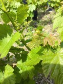 Goron vine with the first grape bunches