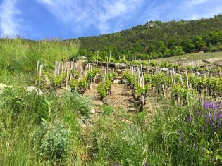 Four rows of old vines on the left provided the first cuttings for grafting the new vines