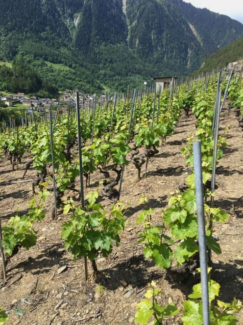 Spiral-pruned vines, probably Gamay