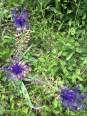Goron de Bovernier vinehard trail wildflowers_220516