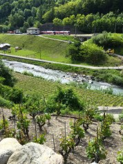 Lower vineyard, Goron planted near the Dranse river in 2010