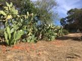 Sardinia Oliena prickly pears_191016
