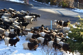 Swiss Alps, goats and sheep on the move. Think gorgeous cheeses to go with your Alpine wines!