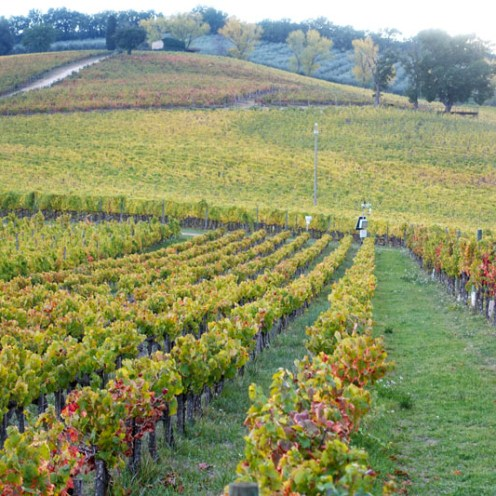 Caprai's experimental vineyards from the 1990s
