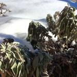 Fried winter sage, Fendant