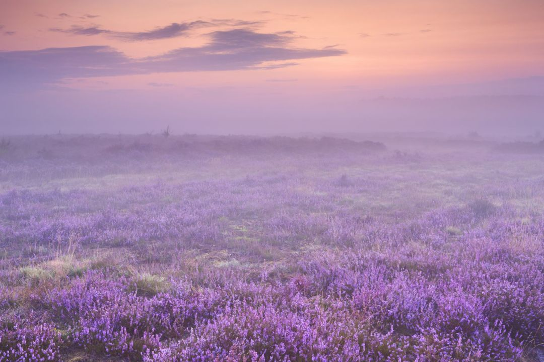 Blooming heather in The Netherlands on a beautiful foggy morning at sunrise.
