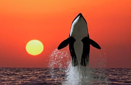 OrcaRisingSun.jpg