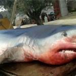 Καταρρίπτεται – Λευκός καρχαρίας βάρους 320 κιλών βγήκε στα ρηχά παραλίας στην Ψάθα Μεγάρων