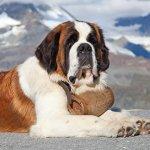 Κουβαλάει βαρελάκι με κονιάκ ένας σκύλος Αγίου Βερνάρδου;