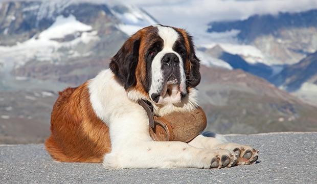St-Bernard-Dog-with-keg