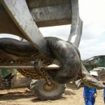 Ανακόντα 10 μέτρων και 400 κιλών στη Βραζιλία; – Καταρρίπτεται